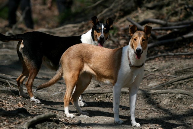 Toonian Smooth Collies Smooth Collie